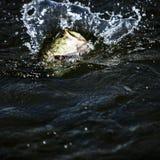 Big Largemouth Bass. Fighting a big Largemouth Bass Fish stock image