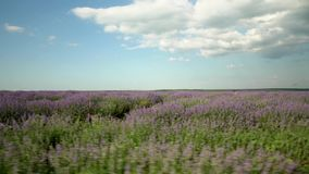 Big Lavender field stock video footage