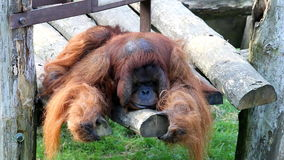Big lazy lurking orangutan stock video footage