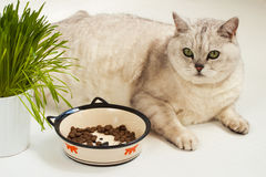 Big lazy overweight cat with bowl of dry food. Big lazy overweight cat lying with a large bowl of dry food and grass for cats Stock Photography