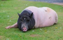 Big lazy pig lying on lawn Stock Photo