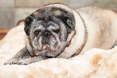 Big Lazy Pug Dog On Bed Royalty Free Stock Image