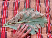 Big Leaf Royalty Free Stock Photography