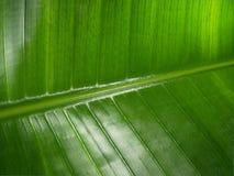 Big leaf Stock Image