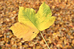 Big death leaf Stock Image