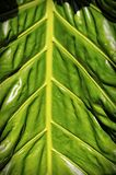 Big leaf background Royalty Free Stock Photo