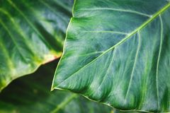 Big leaf background image taken in tropical forest. Of Hawaii royalty free stock image