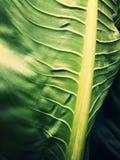 Big leaf royalty free stock photos