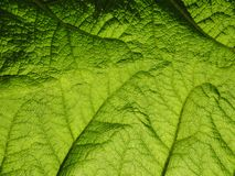 Big Leaf Royalty Free Stock Photo