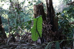 Big leaf. Big green leaf in the middle of the jungle Stock Image