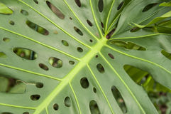 Big leaf Stock Photography