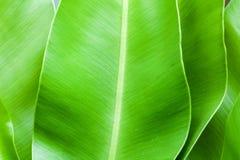 A big leaf of herb Stock Images