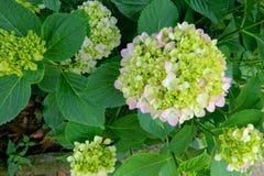 Big leaf hydrangea Stock Photos