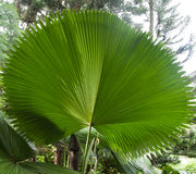 Big leaf like a umbrella. Found in Singapore's botanical garden Royalty Free Stock Photography