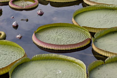 Big leaf lotus Stock Photos