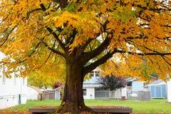 Big Leaf Maple Royalty Free Stock Photography