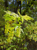 Big leaf maple blossoms in spring Royalty Free Stock Images