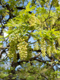 Big leaf maple blossoms in spring Stock Photo