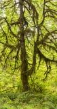 Big Leaf Maple Hoh Rainforest Panorama Stock Photography