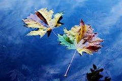 Big-leaf Maple Leafs floating on Battle Ground Lake, Battle Ground, WA, USA stock photography
