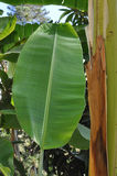 The big leaf of a palm tree. Hangs vertically Royalty Free Stock Photography