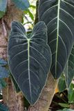 Big leaf of sausage tree, kigelia africana bignoniaceae. From west africa Royalty Free Stock Images