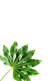 Big leaf of tropical plant on white background top view copyspace Stock Image