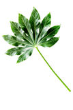 Big leaf of tropical plant on white background top view copyspace Stock Photography