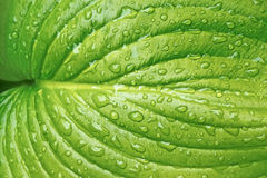 Big leaf with water drops Stock Photo