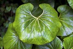 Big leafe in natural garden. Stock Images