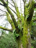 Big-leafed Maple in the Winter. A mossy Big-leafed Maple tree in the winter royalty free stock photo