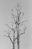 Big leafless tree. Black and white tone royalty free stock photography