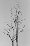 Big leafless tree Royalty Free Stock Photography