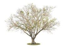Big leafless tree Bonhi isolated. Big leafless tree Bonhi isolated on white background stock image