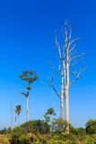 Big leafless tree in green field on blue sky background Royalty Free Stock Image