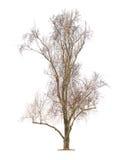 Big leafless tree Stock Image