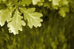 Big leaves of an oak against a grass Royalty Free Stock Images