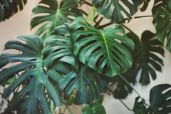Plant in the house. Big leaves stock photography