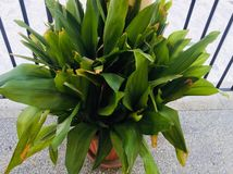 Big leaves plant royalty free stock photography
