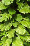 Big leaves royalty free stock photography