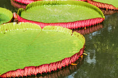 Big leaves of victoria waterlily float on water. Stock Images
