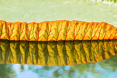 Big leaves of victoria waterlily float on water. Stock Photo