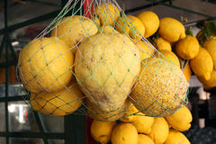Big Lemon Amalfi Coast Italy. Big Lemon of Amalfi Coast to make Limoncello liqueur Stock Image