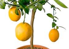 BIG lemon tree - isolated. Beautiful citrus tree with orange fruit on branches Royalty Free Stock Photo