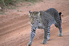 Big Leopard royalty free stock image