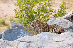 Big Leopard in attacking position Stock Images