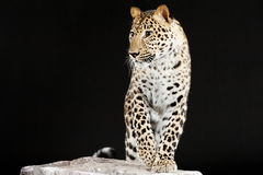 Big leopard stands on rock Royalty Free Stock Photos