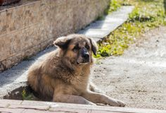 A big light brown dog lies on the ground near his  house and guards him. A big light brown dog lies on the ground near his house and guards him Royalty Free Stock Image