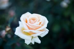 Big light rose on branch. White flower, place for text stock images