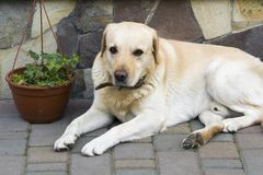 Big light yellow brown dog labrador- retriever lies in front of. The closed house door looking sadly and seriously in camera, guarding and waiting for owner Royalty Free Stock Image